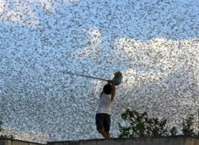 Israel Opens Locust Hotline As Devastating Insects Hit Neighboring Egypt Ahead Of Passover